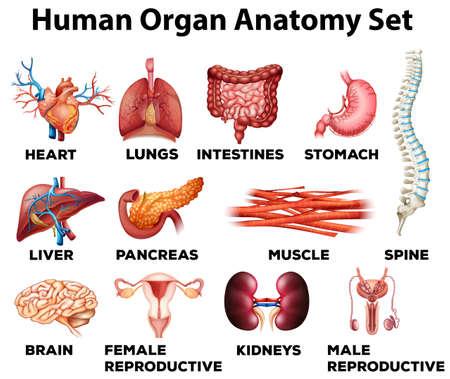 Órganos humanos conjunto anatomía ilustración Ilustración de vector