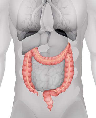intestino grueso: Intestino grueso en la ilustración cuerpo humano