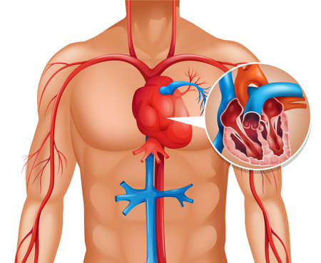 heart attack: Zoom out of human heart illustration Illustration