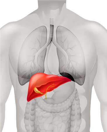 Human liver in body illustration