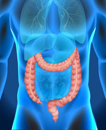 intestino grueso: Radiografía de gran ilustración intestino del ser humano