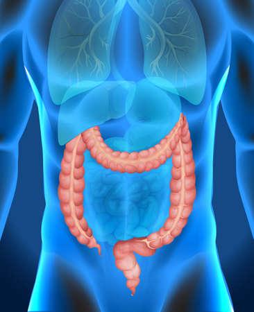 large intestine: Xray of humans large intestine illustration