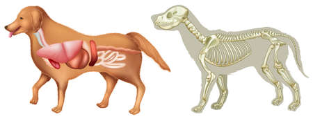 body parts: Anatomy and skelton of dog  illustration