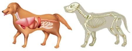 Anatomy and skelton of dog  illustration