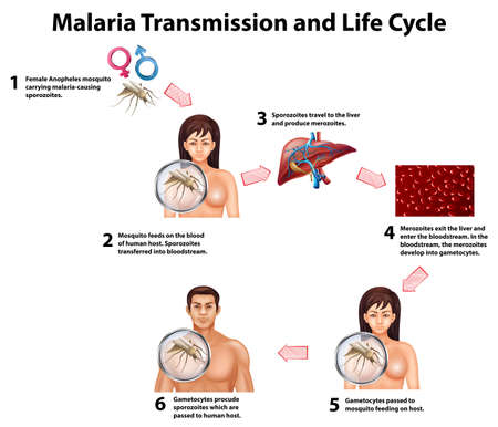 human liver: Malaria Transmission and life cycle illustration