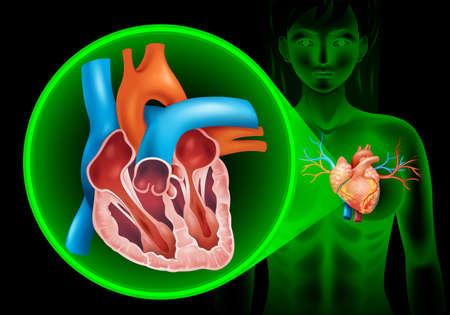 zoom: Heartbeat diagram in human illustration