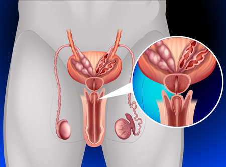 prostate cancer: Male genitals system in human illustration Illustration