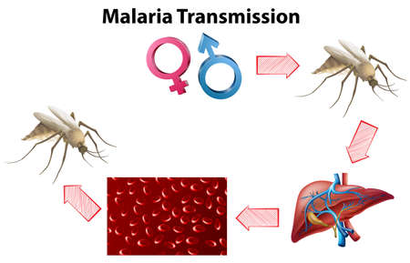 infected mosquito: Malaria Transmission diagram with no text illustration