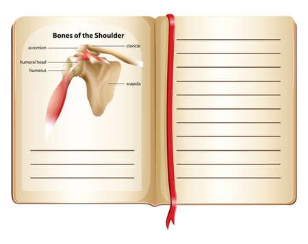 Bones of the shoulder on page illustration Illustration