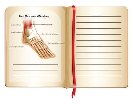 tendons: Foot muscles and tendons on page illustration