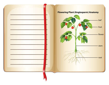 flowering plant: Flowering plant anatomy on page  illustration