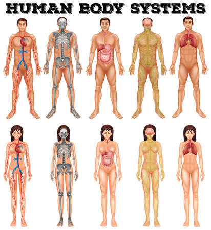 blood circulation: Body system of man and woman illustration Illustration