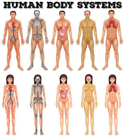 anatomia: Sistema corporal del hombre y de la mujer ilustración Vectores