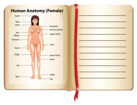 body line: Human anatomy of female illustration Illustration