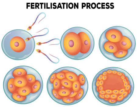 educacion sexual: Diagrama de ilustración proceso de fertilización Vectores