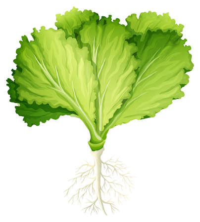 root vegetables: Fresh lettuce with root illustration Illustration