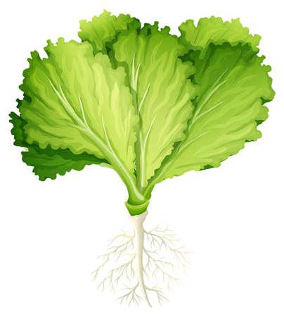 Frischer Salat mit Wurzel illustration Standard-Bild - 48319606