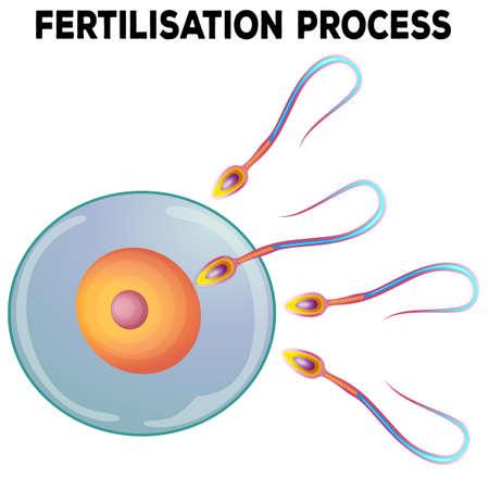 biologia: Diagrama de ilustración proceso de fertilización Vectores