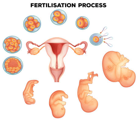 fertilisation: Fertilisation process on human illustration Illustration