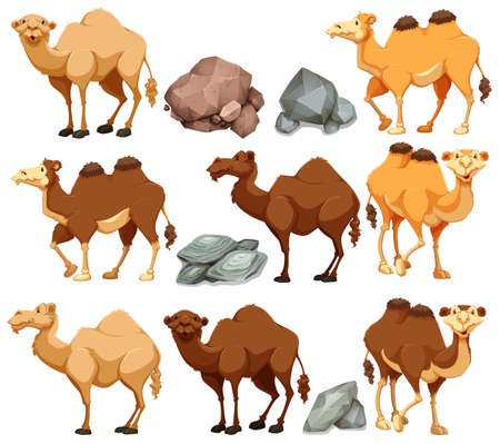 wild living: Camel in different poses illustration
