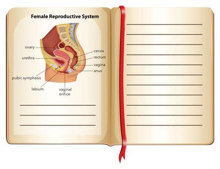 sistema reproductor femenino: Libro de hembra ilustración sistema reproductivo