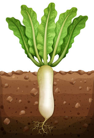 ground: Radish plant under the ground illustration