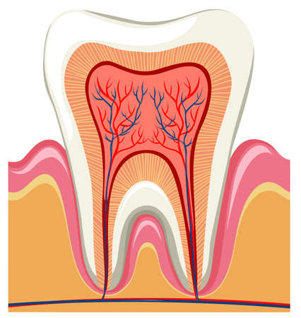 root canal: Inside on a single tooth illustration Illustration