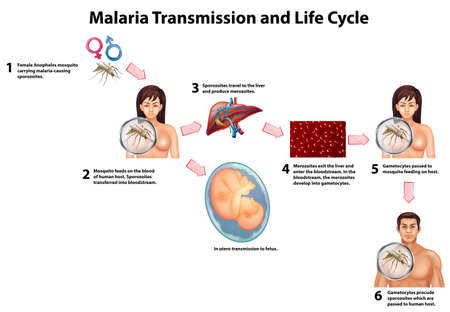 dangerous woman: Malaria Transmission and Life cycle illustration
