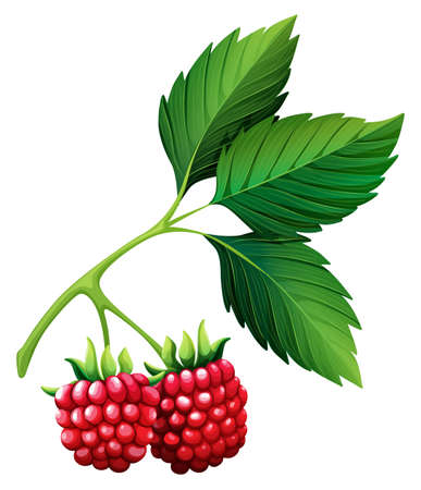 leaf close up: Fresh rasberries with stem illustration