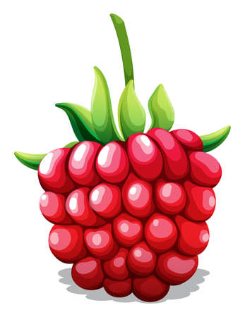 rasberry: Fresh rasberry with green stem illustration