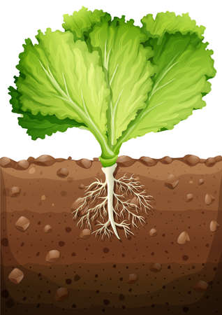 root: Green vegetable with leaves and roots illustration