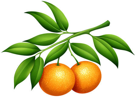 Oranges with stem and leaves illustration
