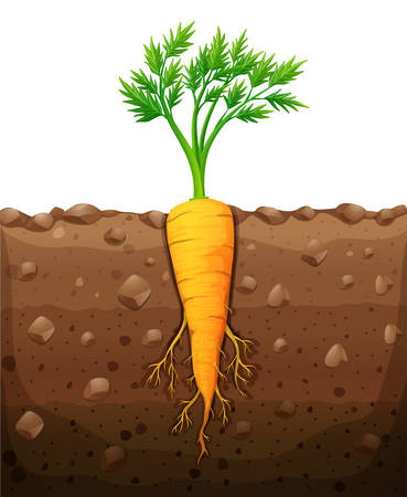 Carrot with root underground illustration Illustration