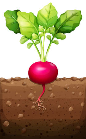 soil: Red radish with roots underground illustration Illustration