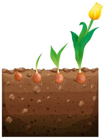 underground: Tulip flower growing underground illustration