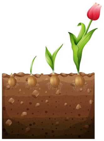 tulips isolated on white background: Tulip growing from underground illustration Illustration