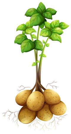 papas: Patatas con la ilustración de tallo y las hojas Vectores
