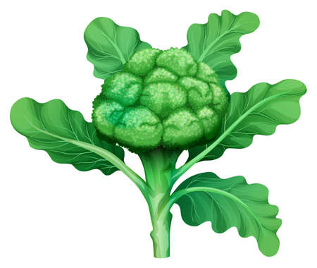 whie: Fresh broccoli with green leaves illustration Illustration