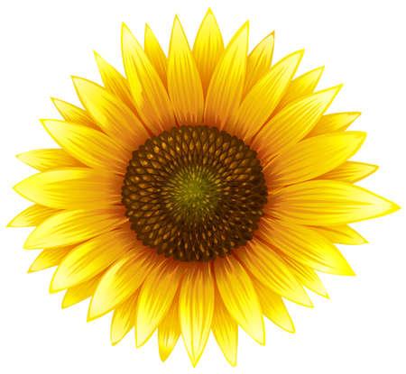 Close up sunflower with fine details illustration