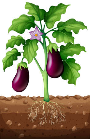 Eggplants on the tree illustration