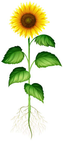 girasol: Planta de girasol con las raíces y la ilustración madre
