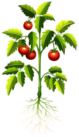 cartoon tomato: Fresh tomato on the tree illustration