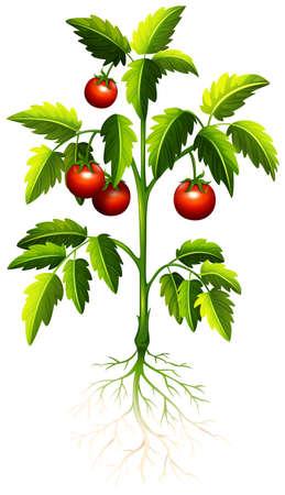 tomates: Tomate fresco en la ilustración del árbol