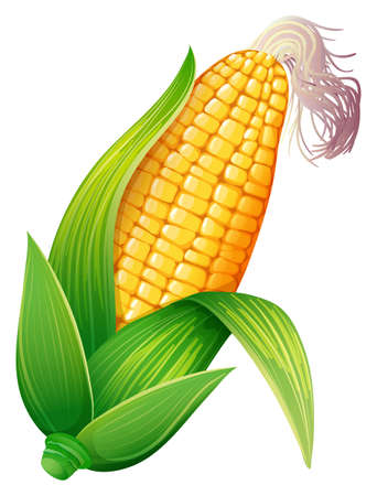 whie: Fresh corn on the cob illustration