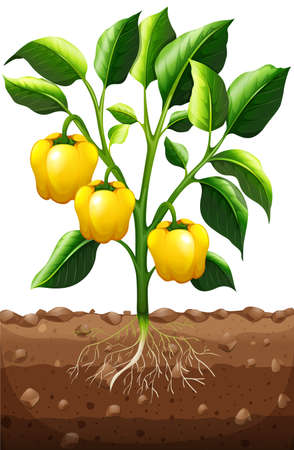 capsicum: Fresh capsicum on the plant illustration