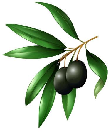 black olive: Black olive fruits on the branch illustration