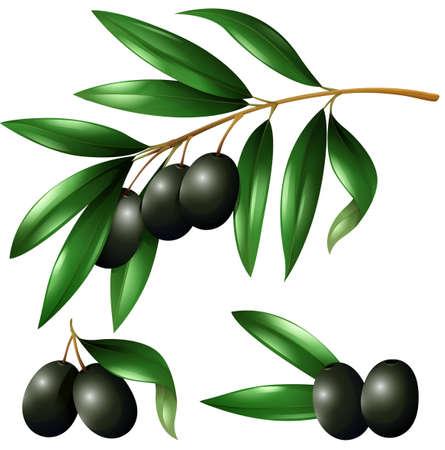 black branch: Black olives on the branch illustration