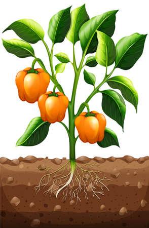 green pepper: Orange capsicum on the plant illustration Illustration