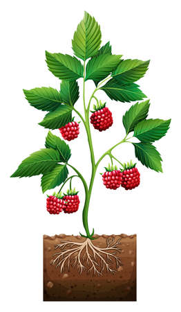 rasberry: Rasberry planting in the ground illustration