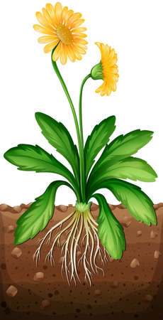 roots: Yellow daisy plant in the ground illustration